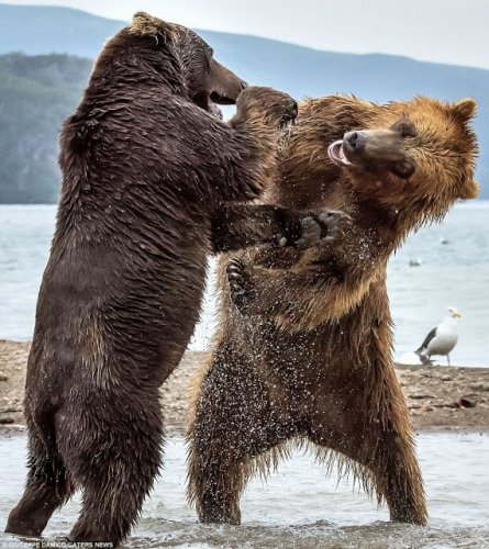 """bear fighting essay Faulkner's novella """"the bear"""" from his collection of works the bear by william faulkner he knows he is fighting a losing battle."""