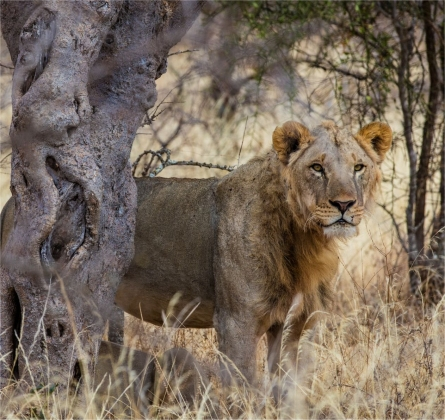 lion-guardians