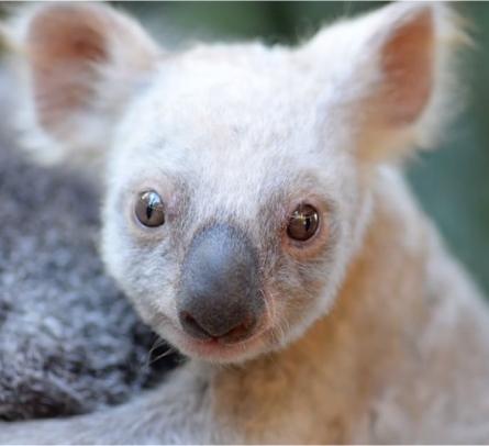 koala-baby-white