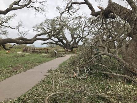 texas-big-tree