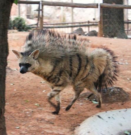 aardwolves