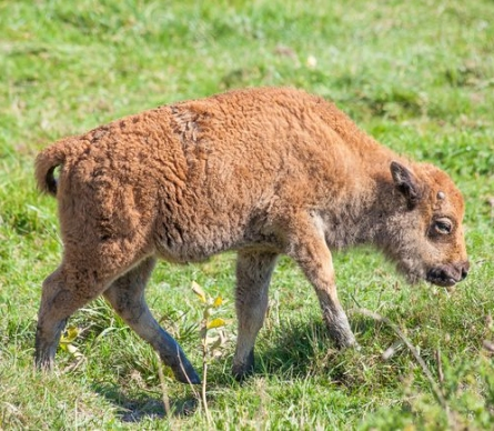 baby-bison
