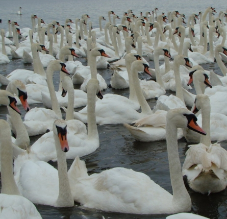 her-majestys-swans