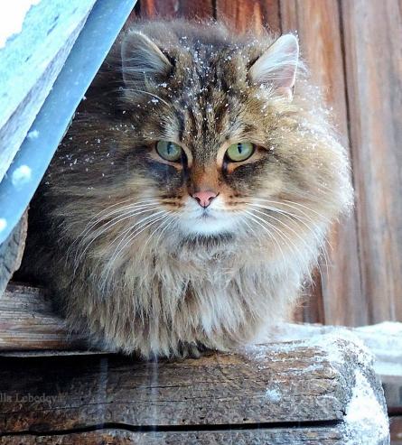 siberian-farm-cat